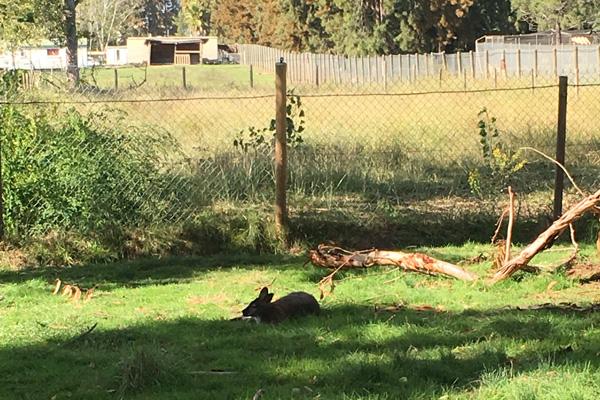 Känguruh am Campingplatz