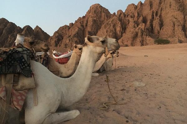 kamel_reiten_wueste_aegypten