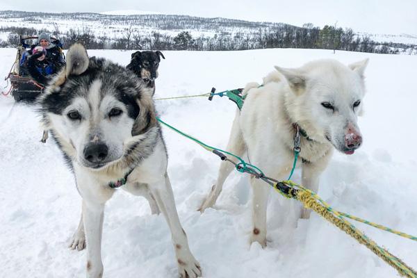 husky-schlitten_fahren_norwegen